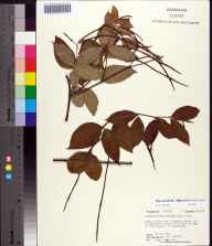 Thyrsanthella difformis herbarium specimen from Blountstown, Calhoun County in 1981 by Robert K Godfrey.