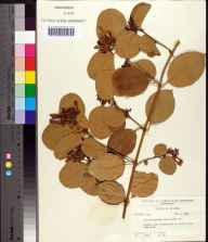 Trachelospermum jasminoides herbarium specimen from Miami-Dade County in 1959 by Robert K Godfrey.