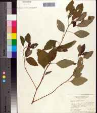 Impatiens biflora herbarium specimen from Sneads, Jackson County in 1972 by Angus Gholson.
