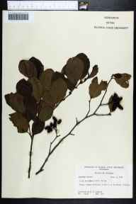 Alnus serrulata herbarium specimen from De Funiak Springs, Walton County in 1958 by Robert K Godfrey.