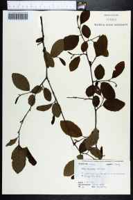 Alnus serrulata herbarium specimen from Torreya State Park, Liberty County in 1972 by Robert K Godfrey.