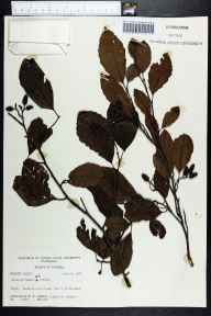 Alnus serrulata herbarium specimen from Shit Creek, Walton County in 1964 by Robert K Godfrey.