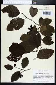 Alnus serrulata herbarium specimen from Cedar tree Landing Road, Washington County in 1990 by Prof. Loran C Anderson.