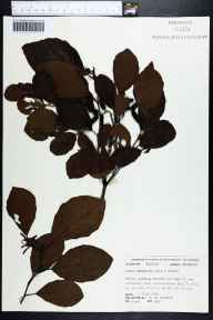 Alnus serrulata herbarium specimen from Apalachicola Bay, Franklin County in 1976 by Robert K Godfrey.