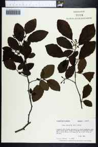 Alnus serrulata herbarium specimen from Hosford, Liberty County in 1980 by Prof. Loran C Anderson.