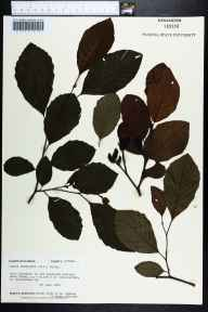 Alnus serrulata herbarium specimen from Interlachen, Putnam County in 1984 by Angus Gholson.