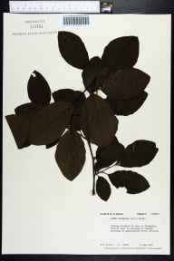 Alnus serrulata herbarium specimen from Apalachicola River, Liberty County in 1976 by Robert K Godfrey.