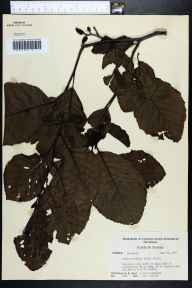 Alnus serrulata herbarium specimen from Apalachicola, Franklin County in 1956 by Paul L Redfearn.