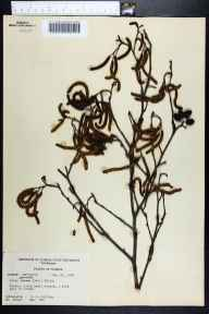 Alnus serrulata herbarium specimen from Lloyd, Jefferson County in 1957 by Robert K Godfrey.