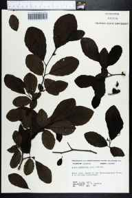 Alnus serrulata herbarium specimen from Choctawhatchee River, Holmes County in 1974 by Robert K Godfrey.