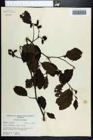 Alnus serrulata herbarium specimen from Greensboro, Gadsden County in 1956 by Robert K Godfrey.