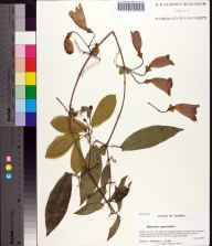 Bignonia capreolata herbarium specimen from Saint Marks National Wildlife Refuge, Wakulla County in 2007 by Prof. Loran C Anderson.