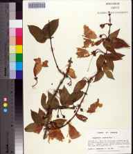 Bignonia capreolata herbarium specimen from Eglin Air Force Base, Okaloosa County in 1994 by Prof. Loran C Anderson.