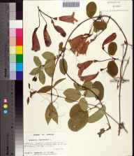 Bignonia capreolata herbarium specimen from Kennedy Creek, Liberty County in 1992 by Prof. Loran C Anderson.