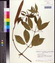 Bignonia capreolata herbarium specimen from University of West Florida, Escambia County in 1989 by James R Burkhalter.