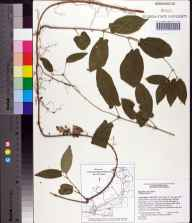 Bignonia capreolata herbarium specimen from Ichetucknee Springs State Park, Columbia County in 1991 by Angus Gholson.