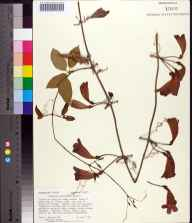 Bignonia capreolata herbarium specimen from Telogia Creek, Liberty County in 1987 by Gary R Knight.