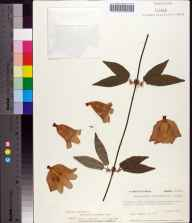 Bignonia capreolata herbarium specimen from Torreya State Park, Liberty County in 1976 by Prof. Loran C Anderson.