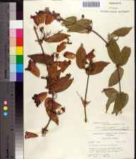 Bignonia capreolata herbarium specimen from Steinhatchee River, Dixie County in 1970 by Robert K Godfrey.