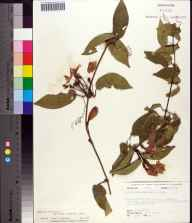 Bignonia capreolata herbarium specimen from Apalachicola National Forest, Wakulla County in 1975 by Robert K Godfrey.