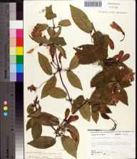 Bignonia capreolata herbarium specimen from Torreya State Park, Liberty County in 1975 by Robert K Godfrey.