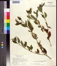 Heliotropium angiospermum herbarium specimen from Turtle Mound, Volusia County in 1965 by Daniel B Ward.