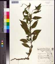 Heliotropium angiospermum herbarium specimen from Beacon Key, Hillsborough County in 1974 by S. Todd.