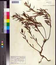 Heliotropium curassavicum herbarium specimen from Volusia County in 1965 by Robert A Norris.