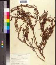 Heliotropium curassavicum herbarium specimen from Cudjoe Key, Monroe County in 1955 by Robert K Godfrey.