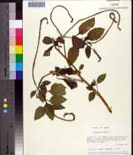 Heliotropium indicum herbarium specimen from Saint Vincent National Wildlife Refuge, Franklin County in 1986 by Prof. Loran C Anderson.