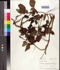 Heliotropium indicum herbarium specimen from Bristol, Liberty County in 1976 by Robert K Godfrey.