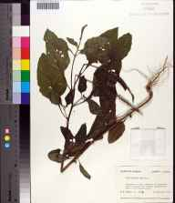 Heliotropium indicum herbarium specimen from Apalachicola River, Calhoun County in 1976 by Robert K Godfrey.