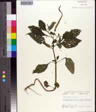 Heliotropium indicum herbarium specimen from Torreya State Park, Liberty County in 1973 by Robert K Godfrey.