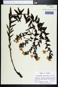 Lithospermum caroliniense herbarium specimen from New Hope, Washington County in 1990 by Prof. Loran C Anderson.