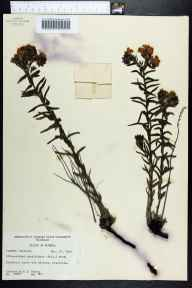 Lithospermum caroliniense herbarium specimen from Crestview, Okaloosa County in 1956 by Robert K Godfrey.