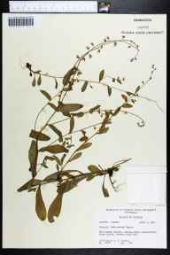 Myosotis macrosperma herbarium specimen from Torreya State Park, Liberty County in 1964 by Robert K Godfrey.