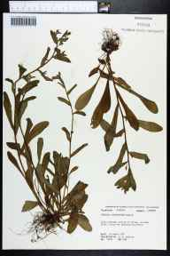 Myosotis macrosperma herbarium specimen from Alum Bluff, Liberty County in 1974 by Robert K Godfrey.