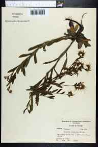 Onosmodium virginianum herbarium specimen from Monticello, Jefferson County in 1958 by Robert Kral.