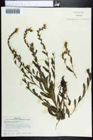 Onosmodium virginianum herbarium specimen from Martin, Marion County in 1960 by Daniel B Ward.