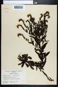 Onosmodium virginianum herbarium specimen from Crestview, Okaloosa County in 1956 by Robert K Godfrey.