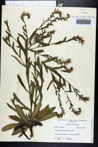 Onosmodium virginianum herbarium specimen from Wakulla, Leon County in 1961 by Robert K Godfrey.