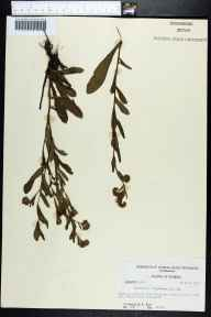 Onosmodium virginianum herbarium specimen from Levy County in 1957 by Robert Kral.