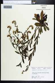 Onosmodium virginianum herbarium specimen from Madison, Madison County in 1983 by Robert K Godfrey.