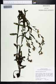 Onosmodium virginianum herbarium specimen from Boulogne, Nassau County in 2000 by Cecil R Slaughter.