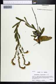Onosmodium virginianum herbarium specimen from Ralph E. Simmons State Forest, Nassau County in 2000 by Prof. Loran C Anderson.