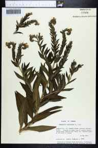 Onosmodium virginianum herbarium specimen from Saint Vincent Island, Franklin County in 1987 by Prof. Loran C Anderson.