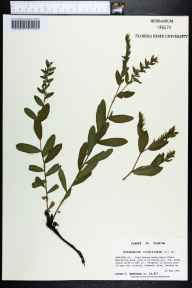 Onosmodium virginianum herbarium specimen from Fred Gannon Rocky Bayou State Recreation Area, Okaloosa County in 1994 by Prof. Loran C Anderson.