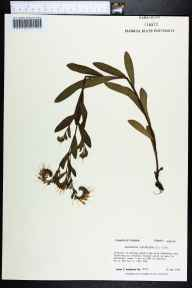 Onosmodium virginianum herbarium specimen from NNW of Gretna, Gadsden County in 1987 by Prof. Loran C Anderson.
