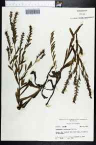 Onosmodium virginianum herbarium specimen from Weirsdale, Marion County in 1963 by Robert K Godfrey.