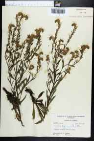 Onosmodium virginianum herbarium specimen from Old Town, Dixie County in 1958 by Robert K Godfrey.